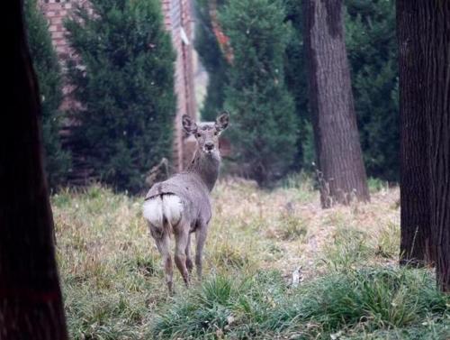 龙泉湖公园惊现梅花鹿!猜测有两只