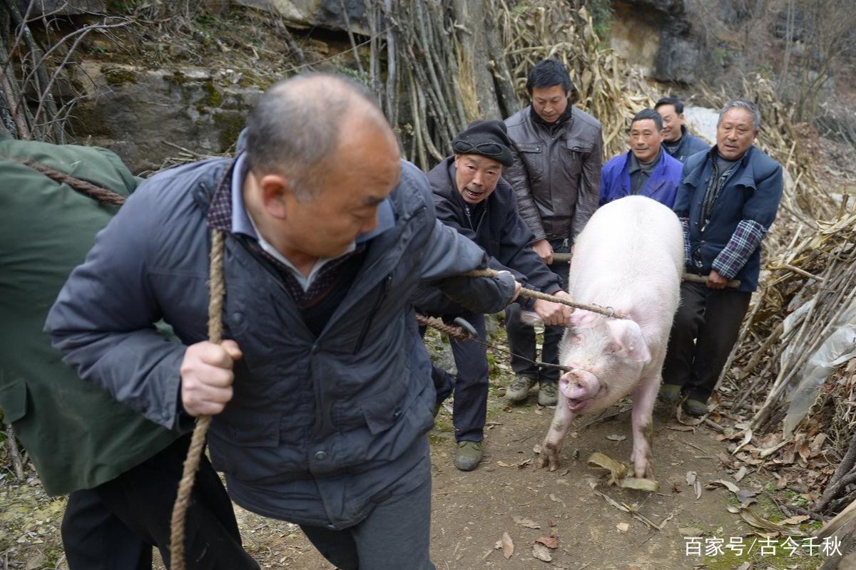 河北一老汉家猪圈时常丢猪,无奈报警求助,专家赶来后却乐开了花